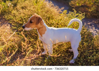 Portrait of Jack Russell Terrier. cute puppy dog walking on autumn alley