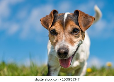Portrait of a Jack Russell Terrier dog outdoor in nature against a blue sky