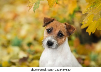 portrait of a Jack Russell Terrier dog in autumn in the park on a background of green grass with orange autumn maple leaves