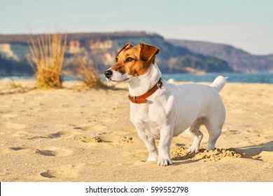 Portrait of Jack Russell Terrier. A dog playing on the beach in the light of a pink sunset. Pet in the summer