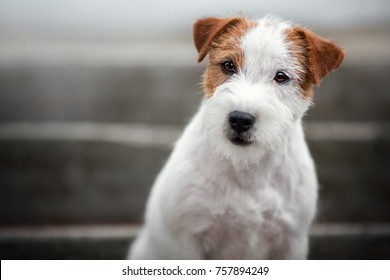 portrait Jack Russell Terrier dog