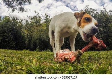 Portrait Of Jack Russell Terrier Female Dog Chewing A Big Bone Of A Lama Animal, Outdoor Shot