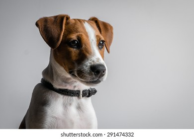 Portrait of a jack russell terrier puppy