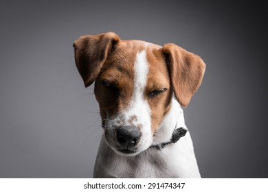 Portrait of a jack russell terrier puppy with eyes closed
