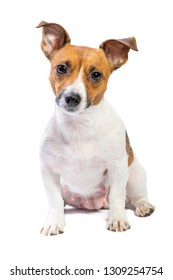 Portrait Jack Russell Terrier, sitting in front of camera, in studio, isolated white background