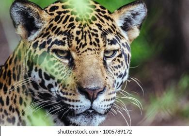 Portrait of Jaguar