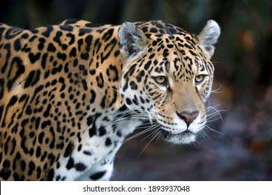 portrait of Jaguar (Panthera Onca) in natural habitat