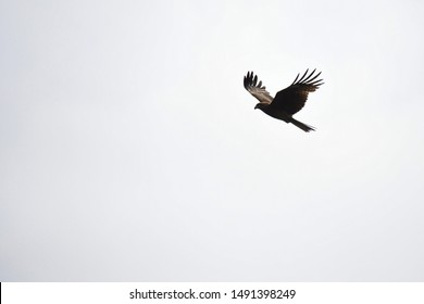Portrait of the japanese hawk flying in the sky with cloud and blue sky background at enoshima island