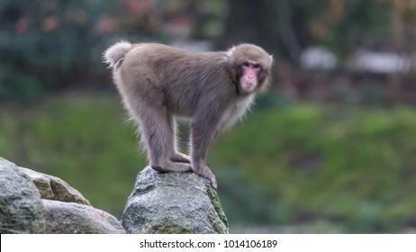 Portrait Japanese Monkey Macaque