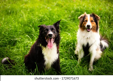Portrait of joyful border collie dog and berger australian dog  playing together enjoying the sunny spring day. Outdoors background, adorable puppy on the lawn in the park.