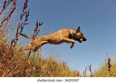 portrait of a jumping purebred belgian shepherd malinois