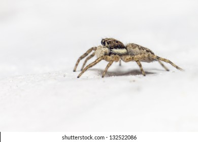 Portrait of a jumping spider (Salticus scenicus)