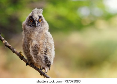 portrait of a juv long-eared owl