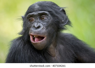 The portrait of  juvenile Bonobo in natural habitat. Green natural background. The Bonobo ( Pan paniscus), called the pygmy chimpanzee. Democratic Republic of Congo. Africa