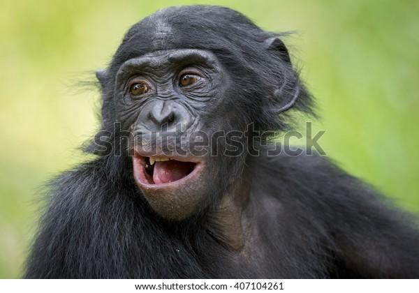 El retrato de los jóvenes Bonobo en el hábitat natural. Fondo verde natural. El bonobo (Pan paniscus), llamado el chimpancé pigmeo. República Democrática del Congo.  África