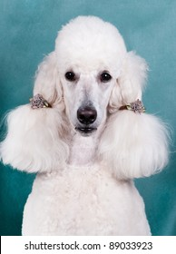 Portrait of  King size white poodle with ponytails