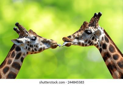 Portrait of a kissing giraffes