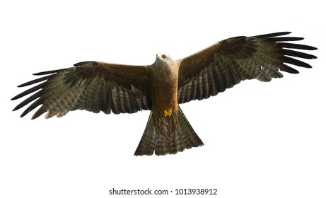 A portrait of a kite hovering in the sky, widely spreading powerful wings and illuminated by the sun. Isolated