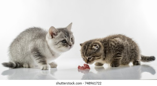 portrait of kittens of Scottish Fold cats eagerly eat meat on white background