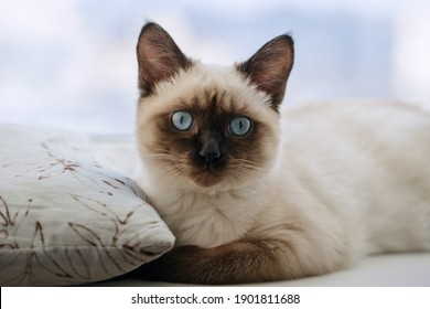 Portrait kitty with blue eyes on windowsill. Shallow DOF