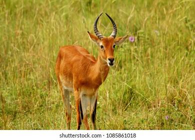 A portrait of a Kob Antelope on the plains of Uganda.
