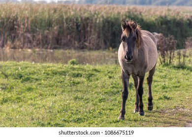 Portrait of a konik horse standing in the Oostvaardersplassen in the Netherlands.  In the background is reed and water.
