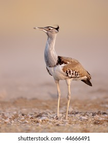 Portrait of a Kori bustard walking on open plains of Etosha; Ardeotis kori