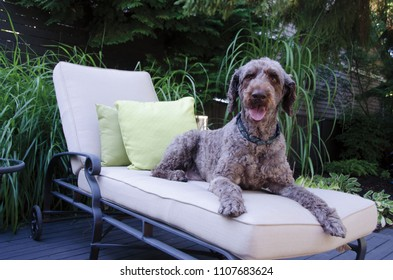 Portrait of a Labradoodle