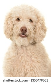 Portrait of a labradoodle dog looking at the camera on a white background