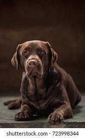 The portrait of a  Labrador dog taken against a dark backdrop.