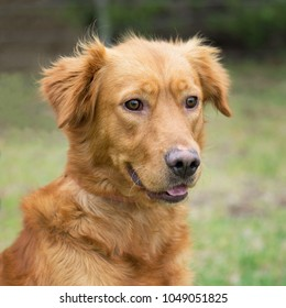 725 Golden Retriever Mix Labrador Golden Retriever Mix Labrador