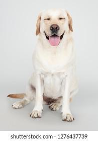 Portrait of a Labrador Retriever dog