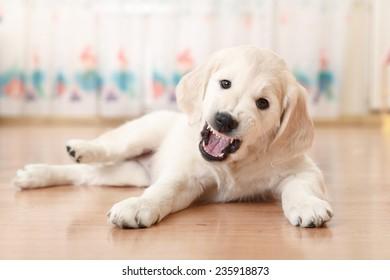 Portrait of labrador retriever puppy lying on the floor