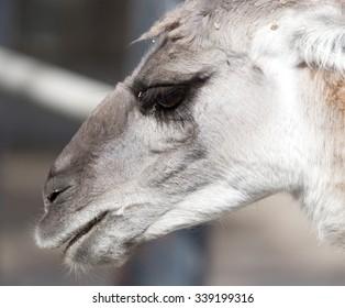 Portrait of a Lama  in nature