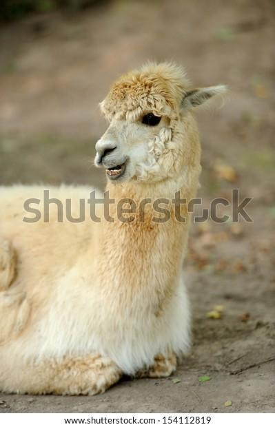 Portrait of a lama on farm