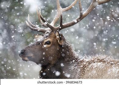 Portrait of a large bull elk (Cervus canadensis) in a snowstorm.