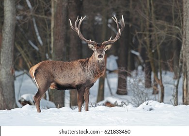 Portrait of a large deer with large horns among the forest in winter