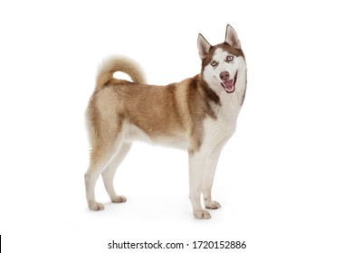 portrait large dog male husky purebred brown standing on white isolated background