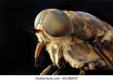 Portrait of a large horsefly Tabanidae on a black background.