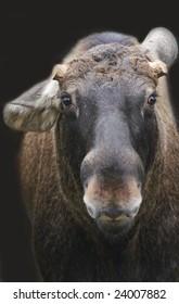 Portrait of large male Moose (elk) - Alces alces