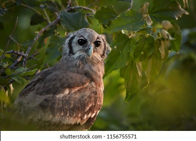 Portrait of largest african owl, Verreaux's Eagle-owl or Giant Eagle-owl, Bubo lacteus perched among leaves in late evening, gazing at camera. Wild animal photography, Moremi,Okavango delta,Botswana.