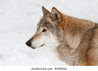 Portrait in lateral view of the gray wolf on a background of a snow