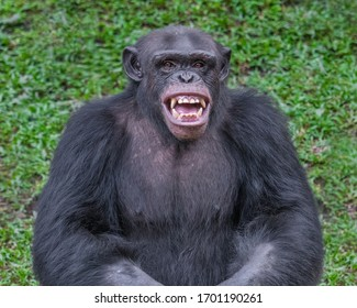 Portrait of a laughing Chimpanzee