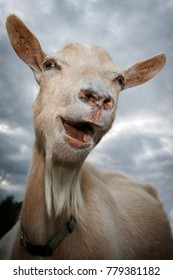 Portrait of a laughing goat