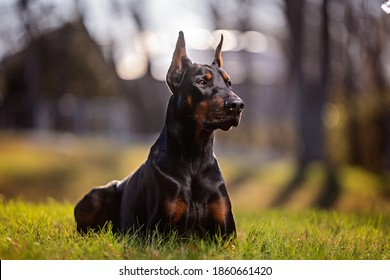 portrait of a laying Doberman outdoors