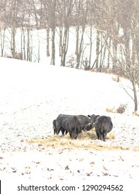 Portrait layout of a group of black Angus beef cows eating hay during a snow storm in Appalachia