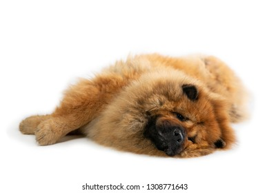 portrait of lazy chow chow dog lying on the floor isolated on white background