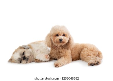 portrait of lazy shih tzu and poodle lying on the floor together isolated on white background