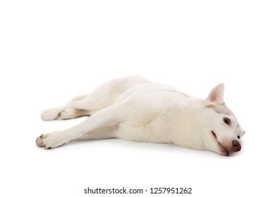 portrait of lazy siberian husky lying on the floor isolated on white background