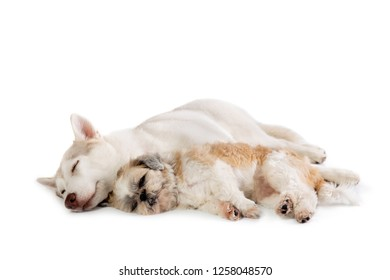 portrait of lazy siberian husky and shih tzu sleeping together on the floor isolated on white background